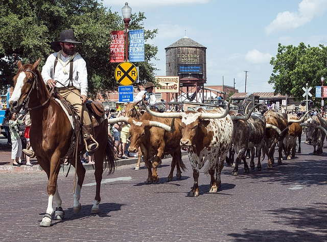 Cowboy leading cattle. Austin, TX bariatric surgery seminar with Mexico Bariatric Center, 2014.
