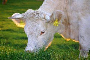organic food, cow eating grass.