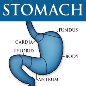 Gastroparesis, stomach diagram
