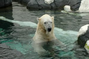 October non-scale victory. Polar bear at the zoo.