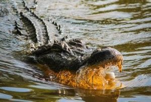 Alligator - Mexico Bariatric Center - Louisiana Bariatric Surgery Seminar