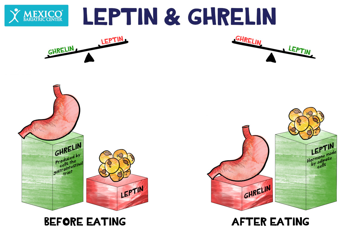 Leptin and Ghrelin Before and After Eating - Gut Hormones