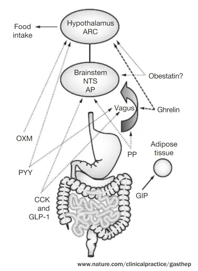 gut brain axis - appetite hunger regulation